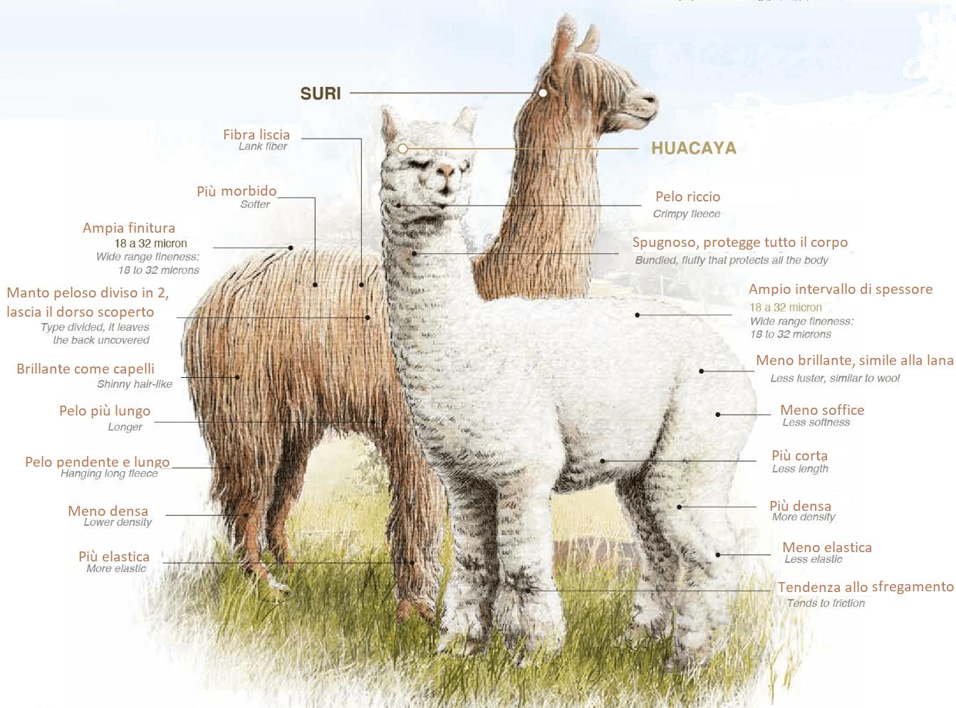 differenze alpaca